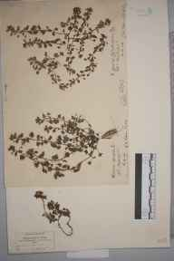 Veronica polita herbarium specimen from Wickham Bishops, VC19 North Essex in 1877 by Hugh Neville Dixon.