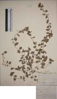 Veronica polita herbarium specimen from Honington, VC38 Warwickshire in 1882 by Mr Frederick Townsend.