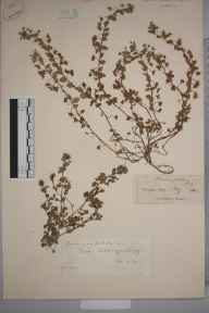 Veronica polita herbarium specimen from Claygate, VC17 Surrey in 1843 by Mr Hewett Cottrell Watson.