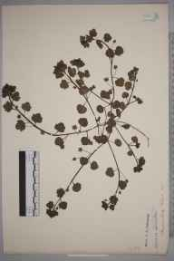 Veronica agrestis herbarium specimen from Charlton Park, VC33 East Gloucestershire in 1890 by C E Robinson.