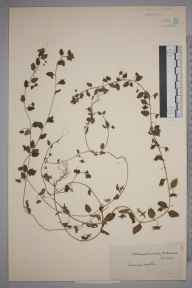 Veronica agrestis herbarium specimen from Richmond, VC17 Surrey in 1920 by J Fraser.