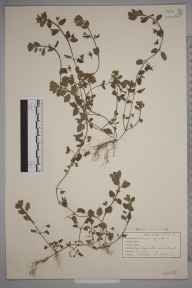 Veronica agrestis herbarium specimen from Lamberhurst, VC16 West Kent in 1942 by John Richard Wallis.