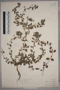 Veronica agrestis herbarium specimen from Abbeywood, VC16 West Kent in 1926 by St John Marriott.