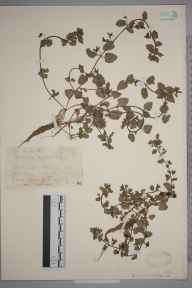 Veronica agrestis herbarium specimen from Hitchin, VC20 Hertfordshire in 1927 by Mr Joseph Edward Little.