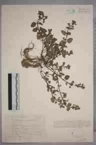 Veronica agrestis herbarium specimen from Luton, VC30 Bedfordshire in 1926 by Mr Joseph Edward Little.