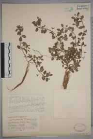 Veronica agrestis herbarium specimen from Hitchin, VC20 Hertfordshire in 0 by Mr Joseph Edward Little.