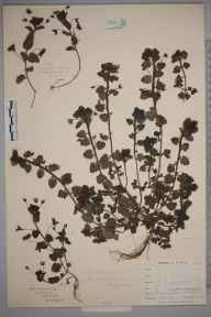 Veronica persica herbarium specimen from Falmouth, Swan Pool, VC1 West Cornwall in 1899 by Mr Allan Octavian Hume.