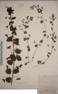 Veronica persica herbarium specimen from Cambridge, VC29 Cambridgeshire in 1846 by Mr Frederick Townsend.