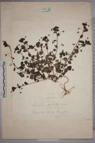Veronica persica herbarium specimen from Croydon, VC17 Surrey in 1871.