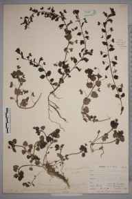 Veronica persica herbarium specimen from Orpington, VC16 West Kent in 1899 by Mr Allan Octavian Hume.