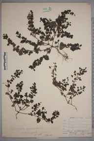Veronica persica herbarium specimen from Chelsfield, VC16 West Kent in 1904 by William Henry Griffin.