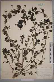Veronica persica herbarium specimen from Catford, VC16 West Kent in 1902 by William Henry Griffin.