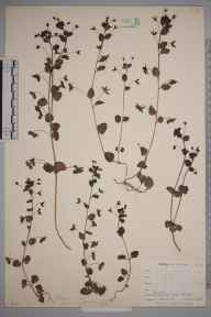 Veronica persica herbarium specimen from Niton, VC10 Isle of Wight in 1898 by Mr Allan Octavian Hume.