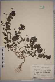 Veronica persica herbarium specimen from Raynes Park, VC17 Surrey in 1910 by Mr Charles Edward Britton.