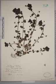Veronica persica herbarium specimen from Fishbourne, VC13 West Sussex in 1930 by Mr Patrick Martin Hall.