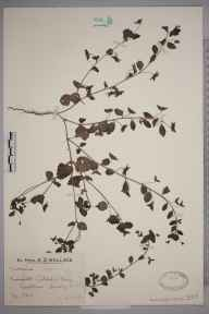 Veronica persica herbarium specimen from Polesden Lacey, VC17 Surrey in 1928 by Mr Edward Charles Wallace.