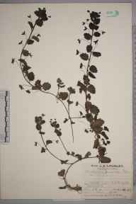 Veronica persica herbarium specimen from Addington, VC17 Surrey in 1927 by Mr Job Edward Lousley.