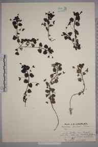 Veronica persica herbarium specimen from Gatton, VC17 Surrey in 1926 by Mr Job Edward Lousley.
