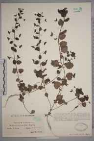 Veronica persica herbarium specimen from Walton on the Hill, VC17 Surrey in 1927 by Mr Charles Edward Britton.