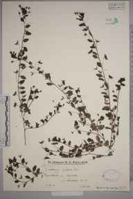 Veronica persica herbarium specimen from Loxwood, VC13 West Sussex in 1931 by Mr Edward Charles Wallace.