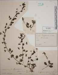 Veronica officinalis herbarium specimen from Mitcham Common, VC17 Surrey in 1894 by M P.