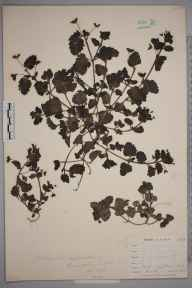 Veronica persica herbarium specimen from Saint Mary Cray, VC16 West Kent in 1898 by Mr Allan Octavian Hume.