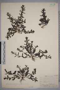 Veronica peregrina herbarium specimen from Truro,Killiow, VC1 West Cornwall in 1906 by Mr Frederick Hamilton Davey.