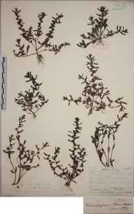 Veronica peregrina herbarium specimen from Truro, VC1 West Cornwall in 1906 by Mr Frederick Hamilton Davey.