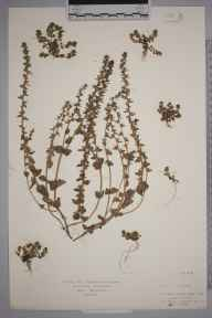 Veronica arvensis herbarium specimen from Mildenhall, VC26 West Suffolk in 1918 by Mr Isaac A Helsby.