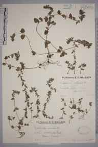 Veronica arvensis herbarium specimen from Epsom, VC17 Surrey in 1931 by Mr Edward Charles Wallace.