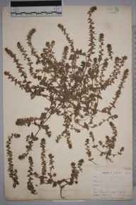 Veronica arvensis herbarium specimen from West Looe, VC2 East Cornwall in 1900 by Mr Allan Octavian Hume.