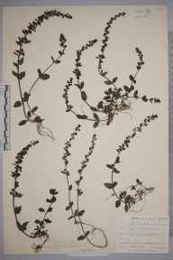 Veronica serpyllifolia herbarium specimen from Lostwithiel, VC2 East Cornwall in 1901 by Mr Allan Octavian Hume.