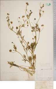 Ranunculus arvensis herbarium specimen from Barcombe, VC14 East Sussex in 1857 by Joseph Woods.