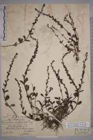 Veronica serpyllifolia herbarium specimen from Whitchurch, VC21 Middlesex in 1902 by Charles Smith Nicholson.