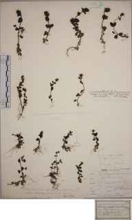 Veronica serpyllifolia subsp. humifusa herbarium specimen from Ben Lawers, VC88 Mid Perthshire in 1842.
