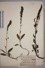 Veronica spicata herbarium specimen from Bristol,St Vincent's Rocks, VC34 West Gloucestershire in 1848 by Rev. Fenton John Anthony Hort.