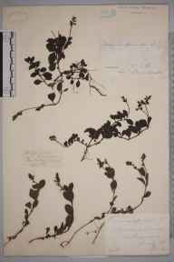 Veronica officinalis herbarium specimen from Grayswood, VC17 Surrey in 1884 by Mr William Hadden Beeby.