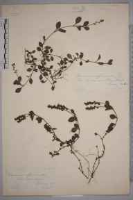Veronica officinalis herbarium specimen from Haslemere,Hind Head, VC17 Surrey in 1885 by Mr William Hadden Beeby.