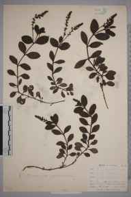 Veronica officinalis herbarium specimen from East Looe, VC2 East Cornwall in 1900 by Mr Allan Octavian Hume.