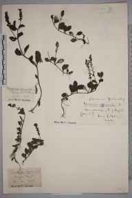Veronica officinalis herbarium specimen from Hayes, VC16 West Kent in 1920 by Marjorie Woolley Bostock.