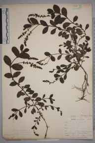 Veronica officinalis herbarium specimen from Sandplace, VC2 East Cornwall in 1900 by Mr Allan Octavian Hume.