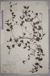 Veronica officinalis herbarium specimen from Addington Hill, VC17 Surrey in 1889 by Mr Henry Tuke Mennell.