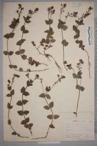 Veronica chamaedrys herbarium specimen from West Looe, VC2 East Cornwall in 1900 by Mr Allan Octavian Hume.
