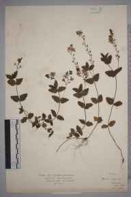 Veronica chamaedrys herbarium specimen from Watford, VC20 Hertfordshire in 1920 by Mr Isaac A Helsby.