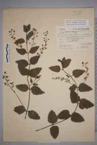 Veronica chamaedrys herbarium specimen from Tarbet, VC99 Dunbartonshire in 1903 by Charles Smith Nicholson.