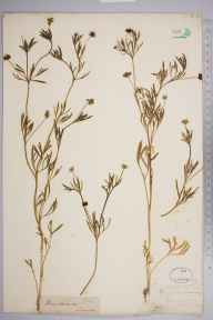Ranunculus arvensis herbarium specimen from Lewes, VC14 East Sussex in 1845 by Joseph Woods.