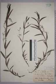 Veronica scutellata herbarium specimen from Witley, VC17 Surrey in 1889 by Rev. Edward Shearburn Marshall.