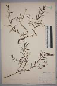 Veronica scutellata herbarium specimen from Chyenhal Moor, VC1 West Cornwall in 1899 by Mr Frederick Hamilton Davey.
