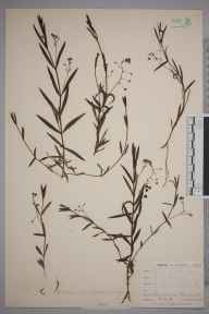 Veronica scutellata herbarium specimen from Ponsanooth, VC1 West Cornwall in 1900 by Mr Frederick Hamilton Davey.