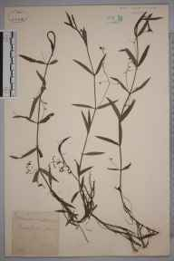 Veronica scutellata herbarium specimen from Backcutting Wood, VC17 Surrey in 1889 by Mr William Hadden Beeby.